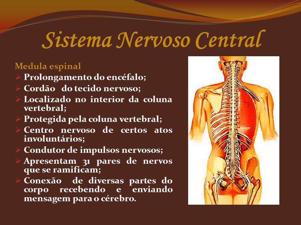 Sistema Nervoso Central Medula espinal Prolongamento do encéfalo; Cordão do tecido nervoso; Localizado no interior da coluna vertebral; Protegida pela