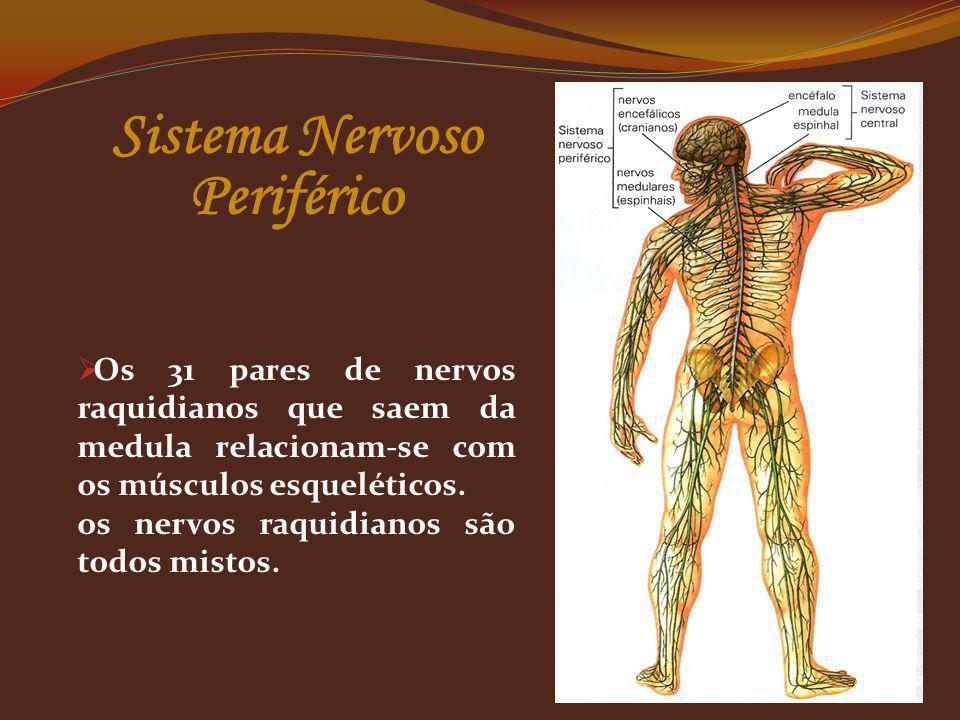 Os 31 pares de nervos raquidianos que saem da medula relacionam-se com os músculos esqueléticos. os nervos raquidianos são todos mistos. Sistema Nervo