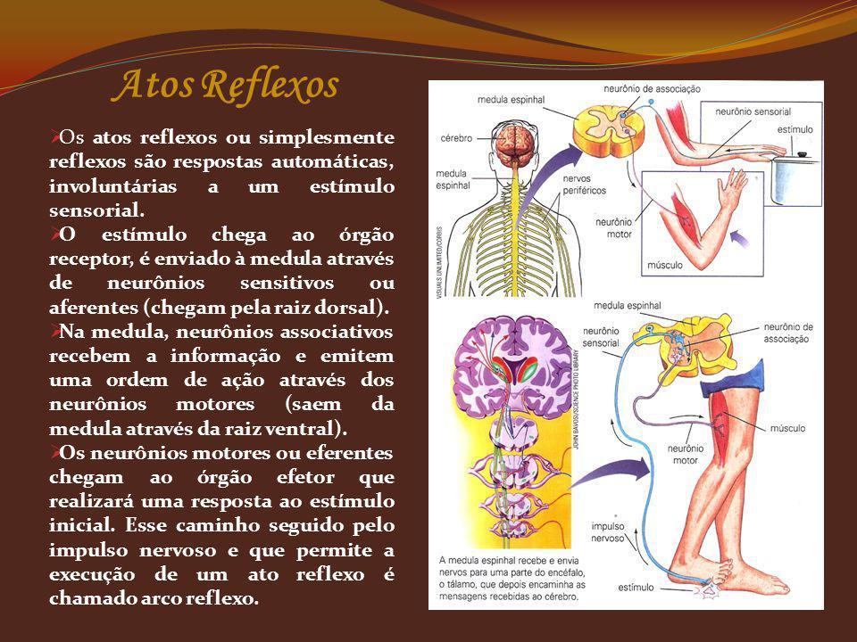 Os atos reflexos ou simplesmente reflexos são respostas automáticas, involuntárias a um estímulo sensorial. O estímulo chega ao órgão receptor, é envi