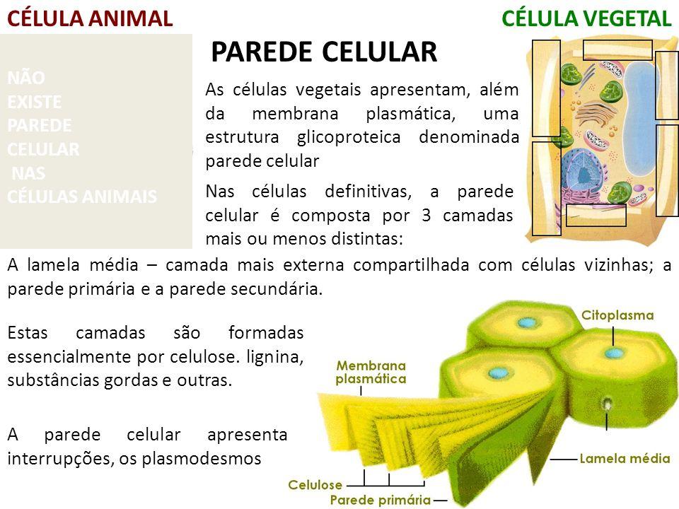 CÉLULA ANIMALCÉLULA VEGETAL NÃO EXISTE PAREDE CELULAR NAS CÉLULAS ANIMAIS As células vegetais apresentam, além da membrana plasmática, uma estrutura glicoproteica denominada parede celular PAREDE CELULAR Nas células definitivas, a parede celular é composta por 3 camadas mais ou menos distintas: A lamela média – camada mais externa compartilhada com células vizinhas; a parede primária e a parede secundária.