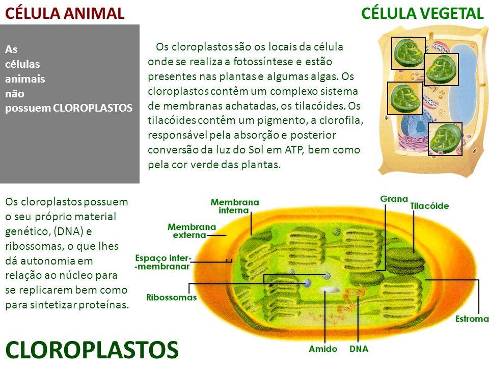 CÉLULA ANIMALCÉLULA VEGETAL CLOROPLASTOS As células animais não possuem CLOROPLASTOS Os cloroplastos são os locais da célula onde se realiza a fotossí