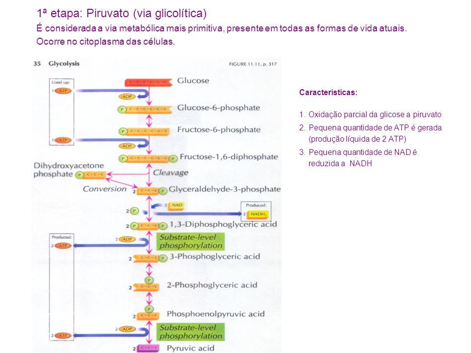 Características: 1.Oxidação parcial da glicose a piruvato 2.Pequena quantidade de ATP é gerada (produção líquida de 2 ATP) 3.Pequena quantidade de NAD é reduzida a NADH 1ª etapa: Piruvato (via glicolítica) É considerada a via metabólica mais primitiva, presente em todas as formas de vida atuais.