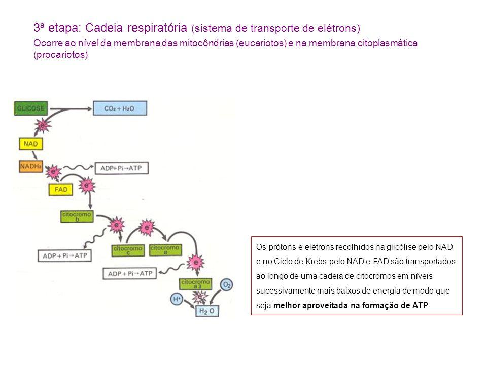 3ª etapa: Cadeia respiratória (sistema de transporte de elétrons) Ocorre ao nível da membrana das mitocôndrias (eucariotos) e na membrana citoplasmática (procariotos) Os prótons e elétrons recolhidos na glicólise pelo NAD e no Ciclo de Krebs pelo NAD e FAD são transportados ao longo de uma cadeia de citocromos em níveis sucessivamente mais baixos de energia de modo que seja melhor aproveitada na formação de ATP.