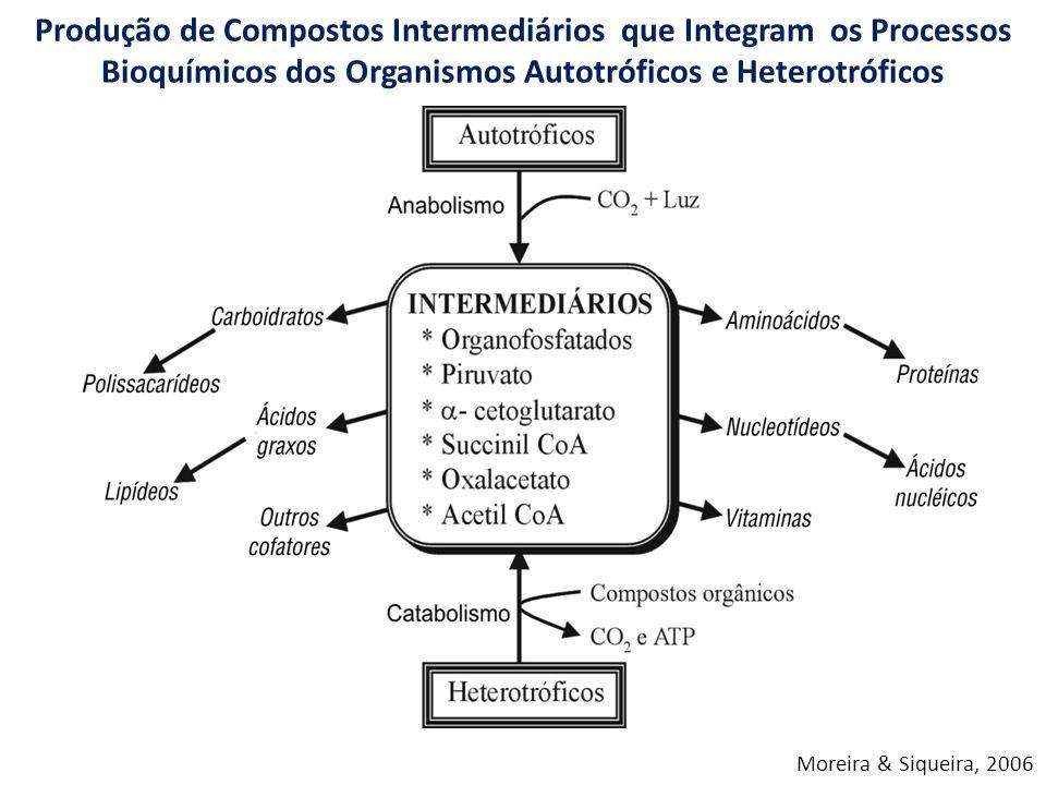 Produção de Compostos Intermediários que Integram os Processos Bioquímicos dos Organismos Autotróficos e Heterotróficos Moreira & Siqueira, 2006