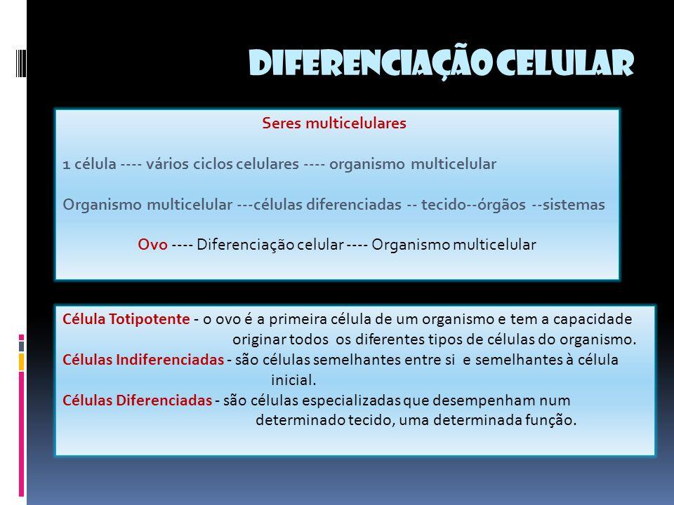 Seres multicelulares 1 célula ---- vários ciclos celulares ---- organismo multicelular Organismo multicelular ---células diferenciadas -- tecido--órgãos --sistemas Ovo ---- Diferenciação celular ---- Organismo multicelular Célula Totipotente - o ovo é a primeira célula de um organismo e tem a capacidade originar todos os diferentes tipos de células do organismo.