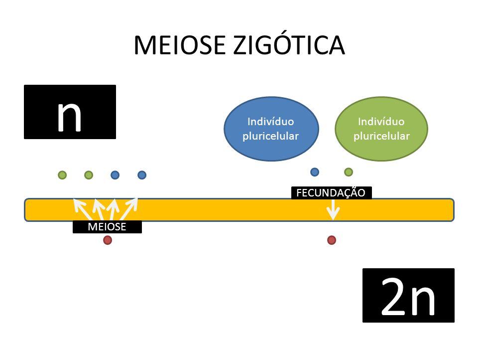 MEIOSE ZIGÓTICA Indivíduo pluricelular n 2n Indivíduo pluricelular MEIOSE FECUNDAÇÃO