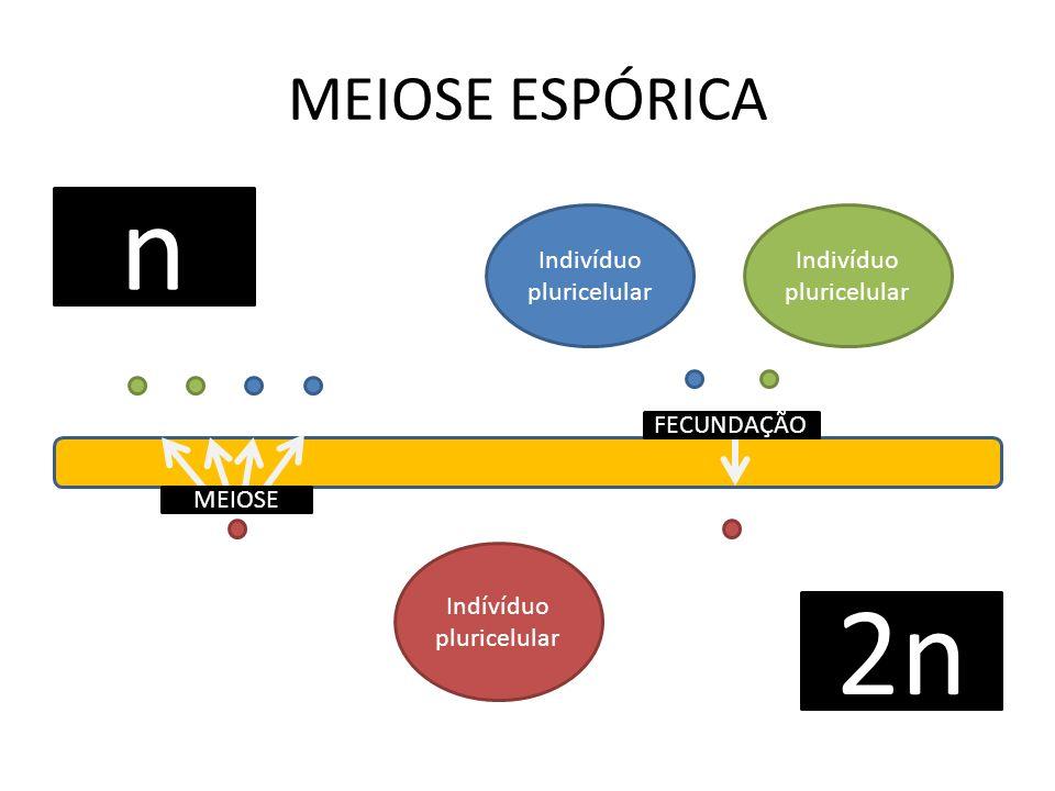 MEIOSE ESPÓRICA n 2n MEIOSE FECUNDAÇÃO Indívíduo pluricelular Indivíduo pluricelular