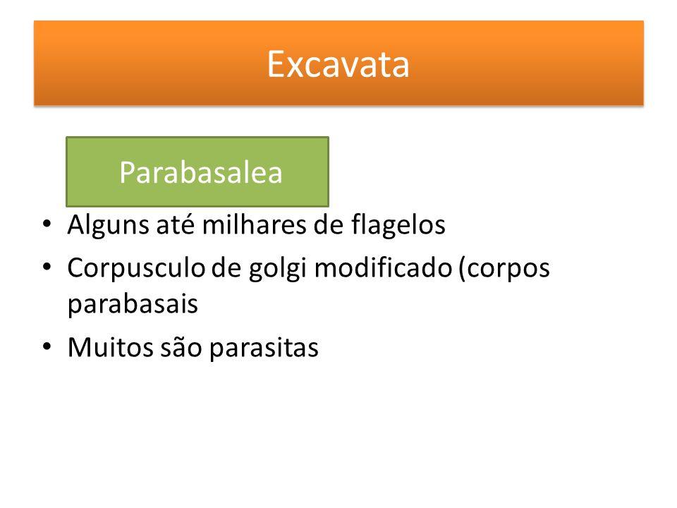 Excavata Alguns até milhares de flagelos Corpusculo de golgi modificado (corpos parabasais Muitos são parasitas Parabasalea