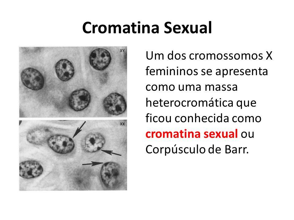 Cromatina Sexual Um dos cromossomos X femininos se apresenta como uma massa heterocromática que ficou conhecida como cromatina sexual ou Corpúsculo de