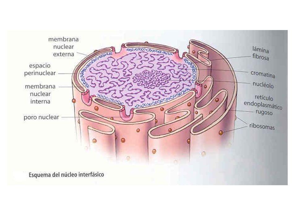 No interior do núcleo, além da cromatina, há regiões densas onde podem ser encontrados estruturas que formam o RNA ribossômico, que por sua vez é sintetizado a pedido do DNA.