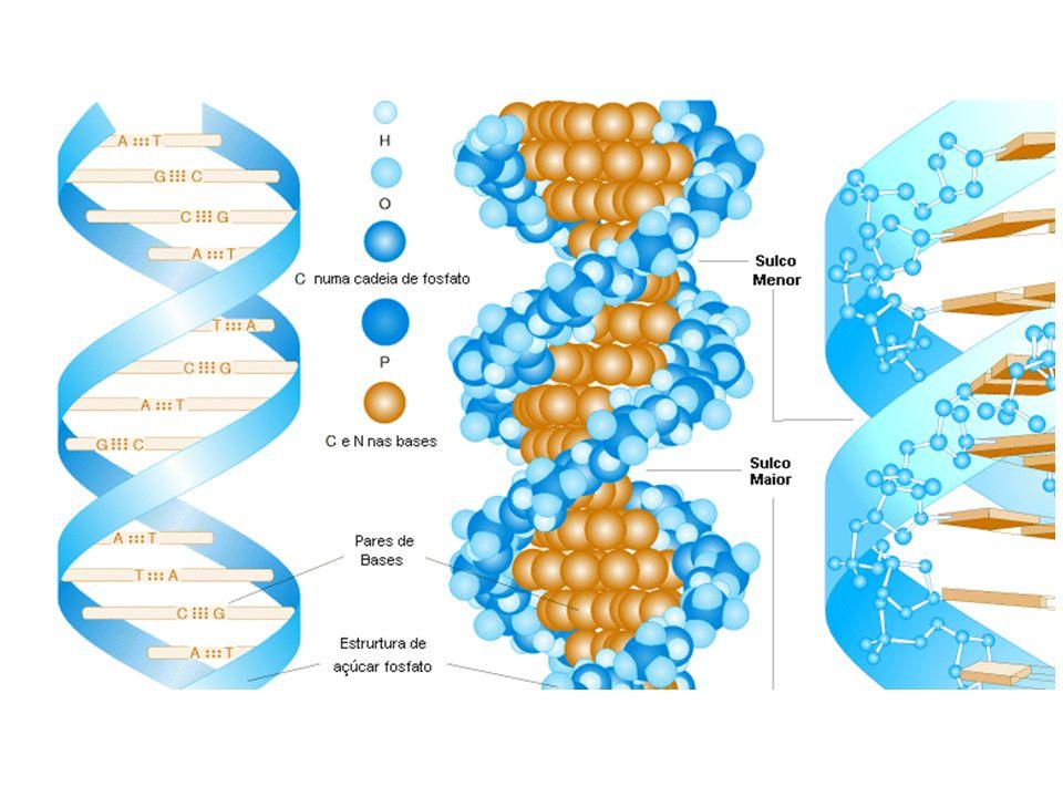 Os filamentos de DNA apresentam regiões mais claras, onde a cromatina está desenrolada, ou seja, as bases nitrogenadas estão expostas e podem servir de molde para a duplicação do DNA; neste caso fala-se em eucromatina.