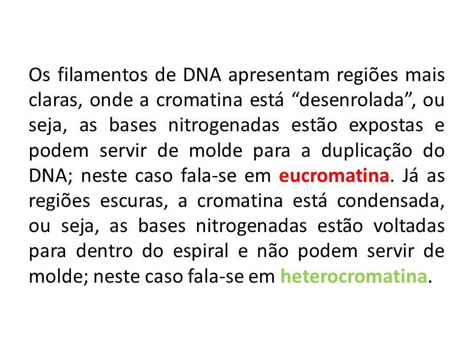 Os filamentos de DNA apresentam regiões mais claras, onde a cromatina está desenrolada, ou seja, as bases nitrogenadas estão expostas e podem servir d