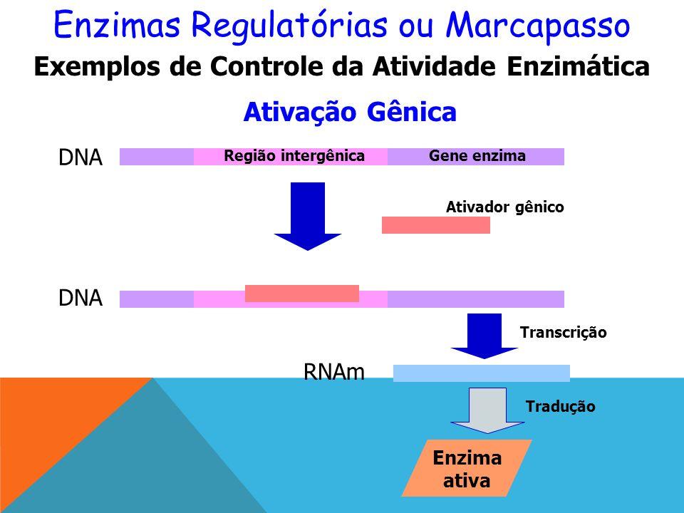 Enzimas Regulatórias ou Marcapasso Ativação Gênica Exemplos de Controle da Atividade Enzimática DNA Região intergênicaGene enzima RNAm Enzima ativa Ativador gênico Transcrição Tradução