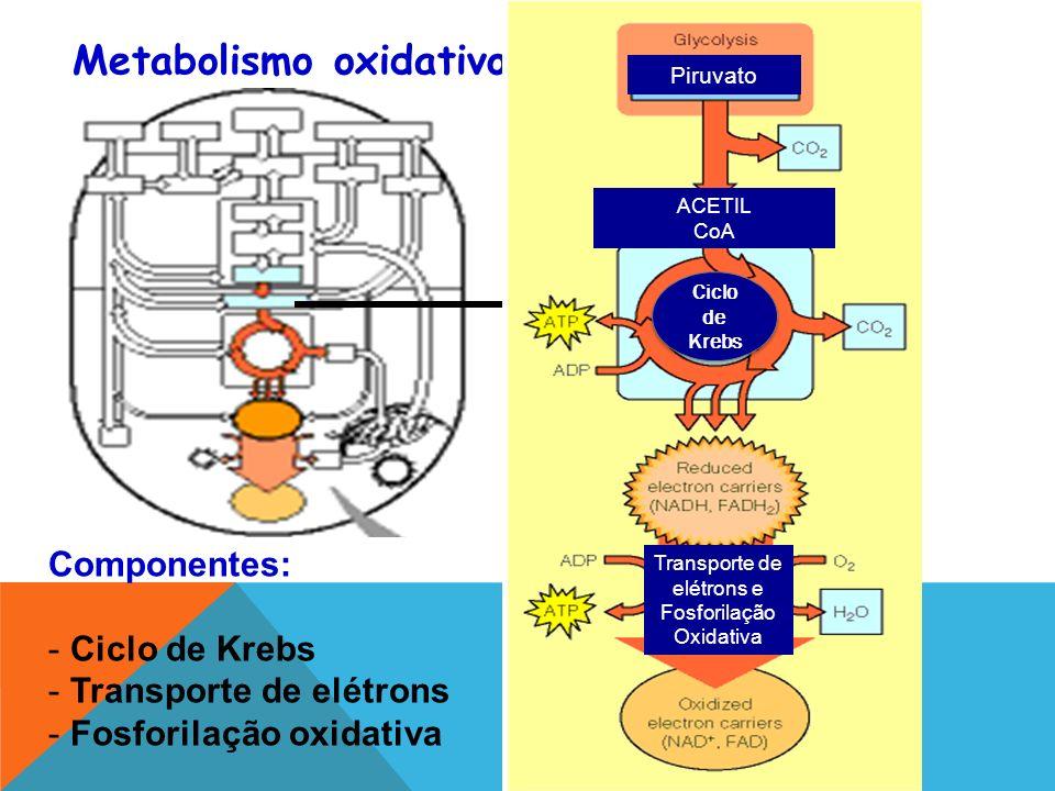 Metabolismo oxidativo Componentes: - Ciclo de Krebs - Transporte de elétrons - Fosforilação oxidativa Piruvato ACETIL CoA Ciclo de Krebs Transporte de elétrons e Fosforilação Oxidativa
