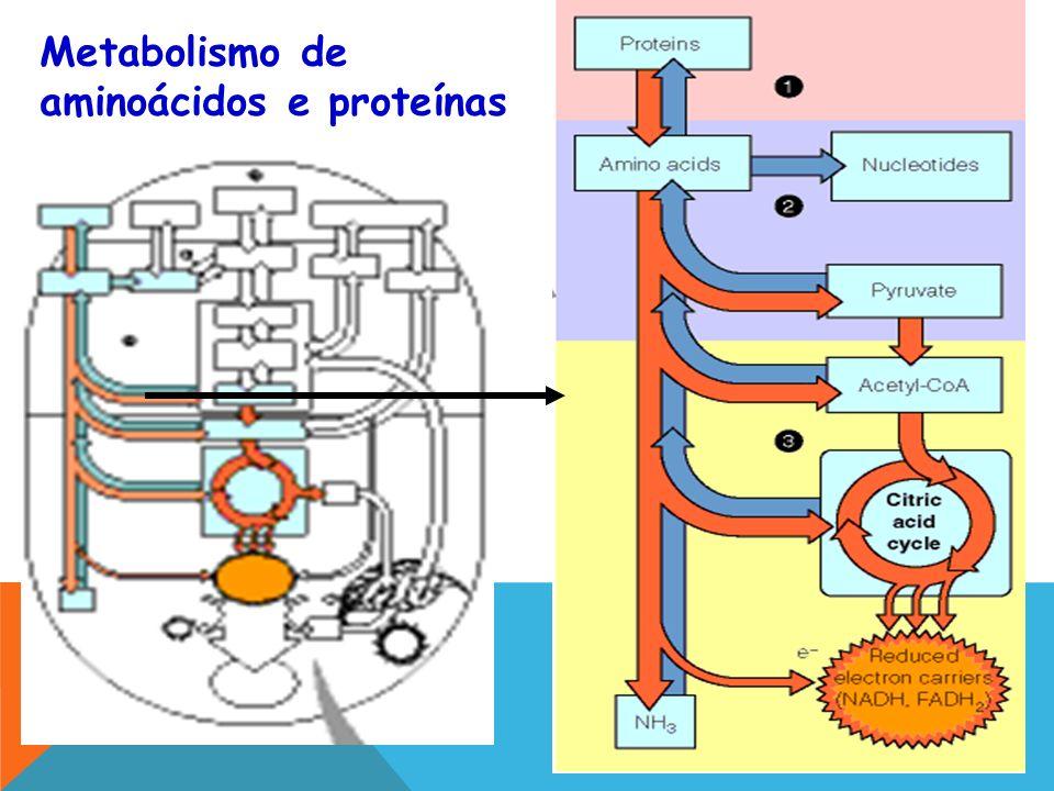 Metabolismo de aminoácidos e proteínas