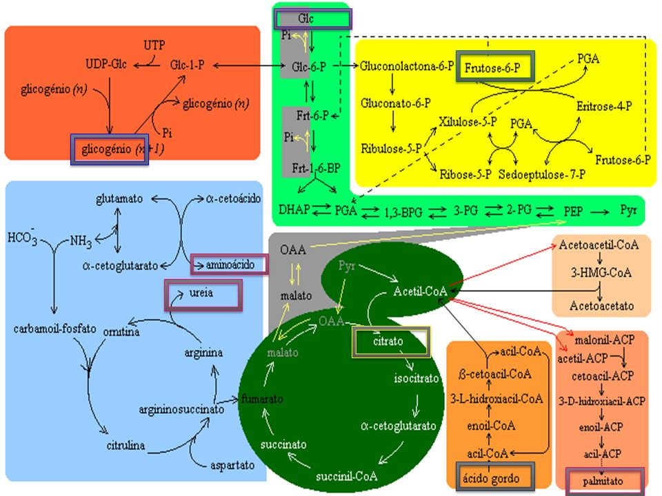 Ciclo Catabólico Ciclo Anabólico Transporte elétrons Proteínas Aminoácidos Ác.