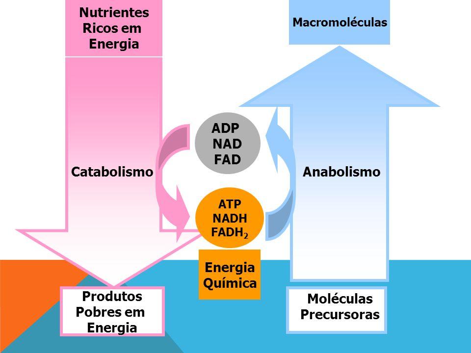 Macromoléculas Produtos Pobres em Energia Nutrientes Ricos em Energia ADP NAD FAD ATP NADH FADH 2 Moléculas Precursoras AnabolismoCatabolismo Energia Química