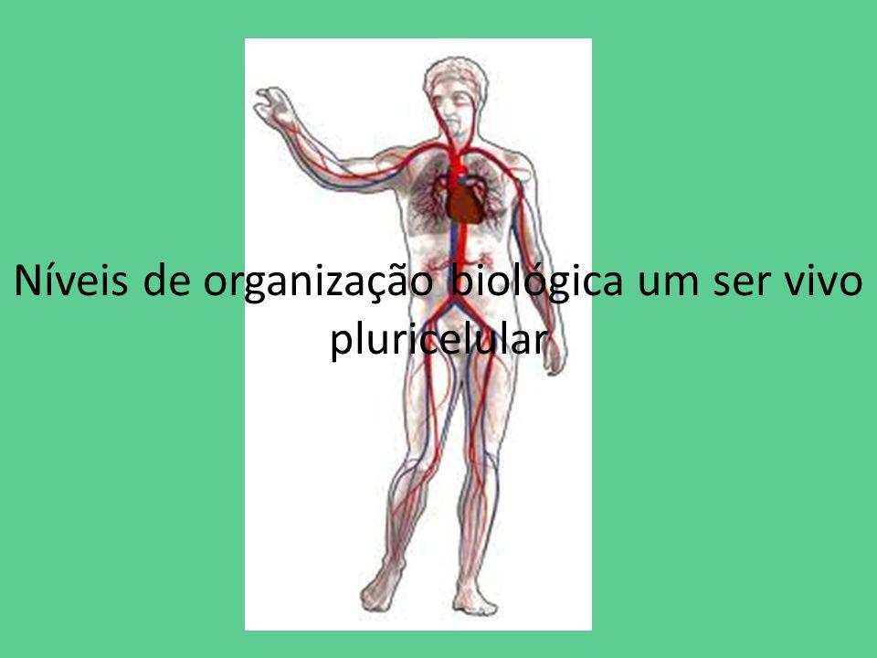 Níveis de organização biológica um ser vivo pluricelular