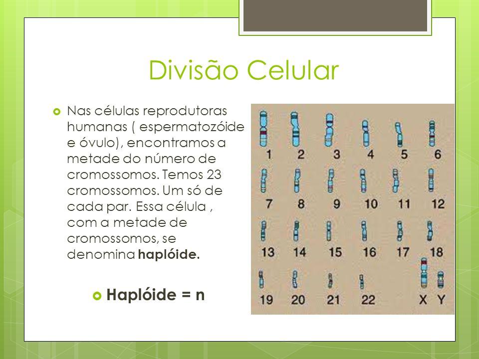 Divisão Celular Nas células reprodutoras humanas ( espermatozóide e óvulo), encontramos a metade do número de cromossomos. Temos 23 cromossomos. Um só
