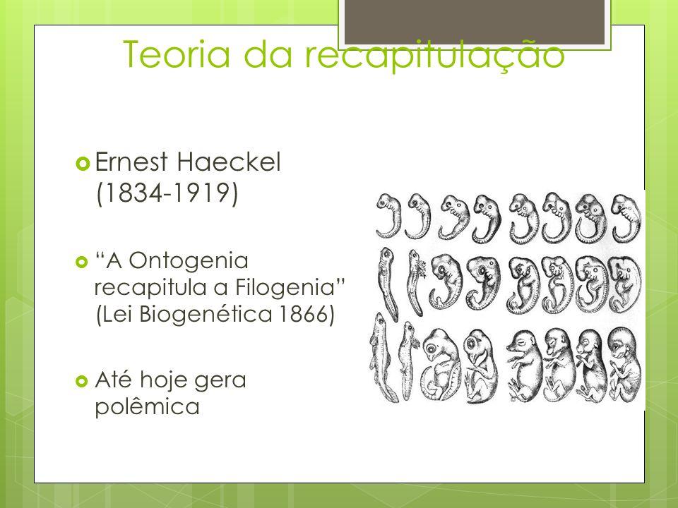 Teoria da recapitulação Ernest Haeckel (1834-1919) A Ontogenia recapitula a Filogenia (Lei Biogenética 1866) Até hoje gera polêmica
