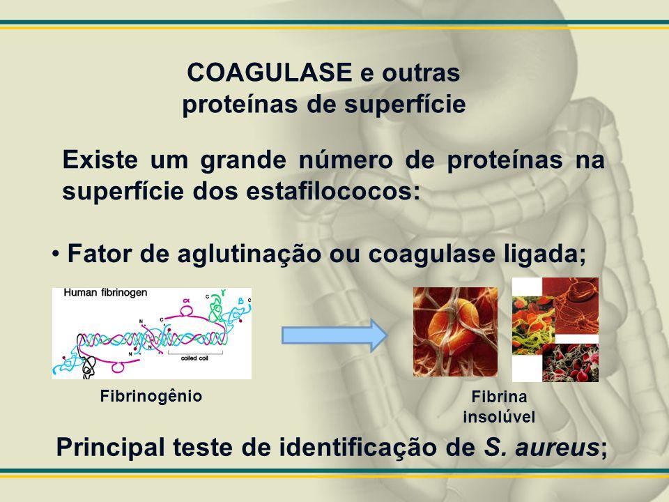 COAGULASE e outras proteínas de superfície Existe um grande número de proteínas na superfície dos estafilococos: Fator de aglutinação ou coagulase lig