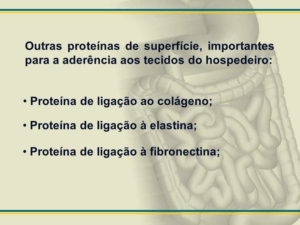 Outras proteínas de superfície, importantes para a aderência aos tecidos do hospedeiro: Proteína de ligação ao colágeno; Proteína de ligação à elastin