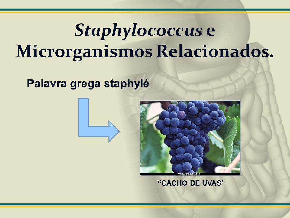 COAGULASE e outras proteínas de superfície Existe um grande número de proteínas na superfície dos estafilococos: Fator de aglutinação ou coagulase ligada; Fibrinogênio Principal teste de identificação de S.