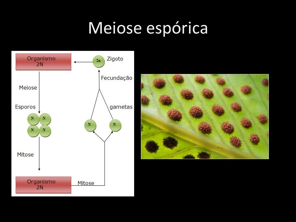Meiose espórica