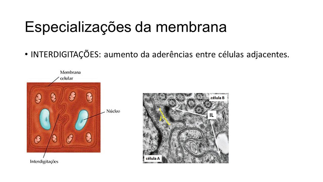 Especializações da membrana INTERDIGITAÇÕES: aumento da aderências entre células adjacentes.