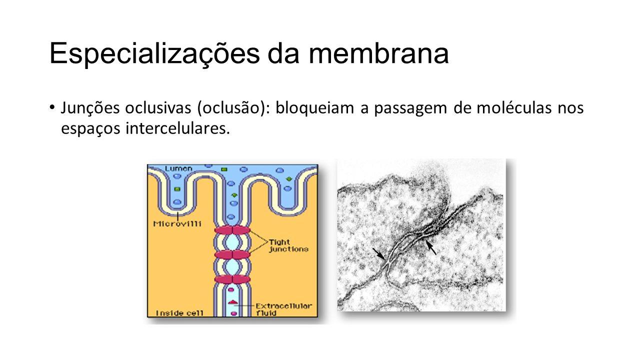Especializações da membrana Junções oclusivas (oclusão): bloqueiam a passagem de moléculas nos espaços intercelulares.