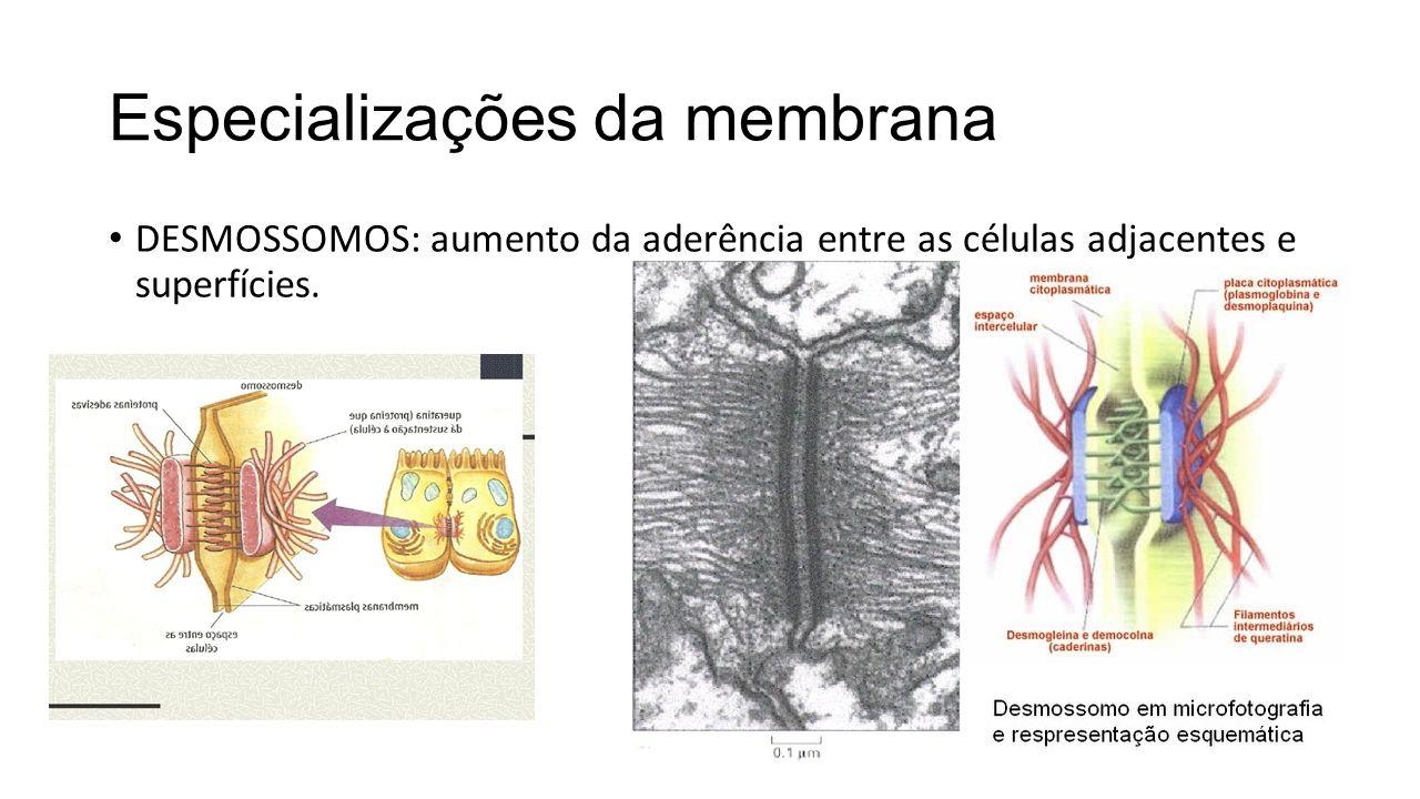 DESMOSSOMOS: aumento da aderência entre as células adjacentes e superfícies.