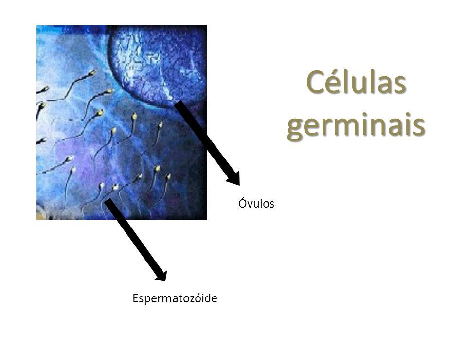 Células germinais Espermatozóide Óvulos