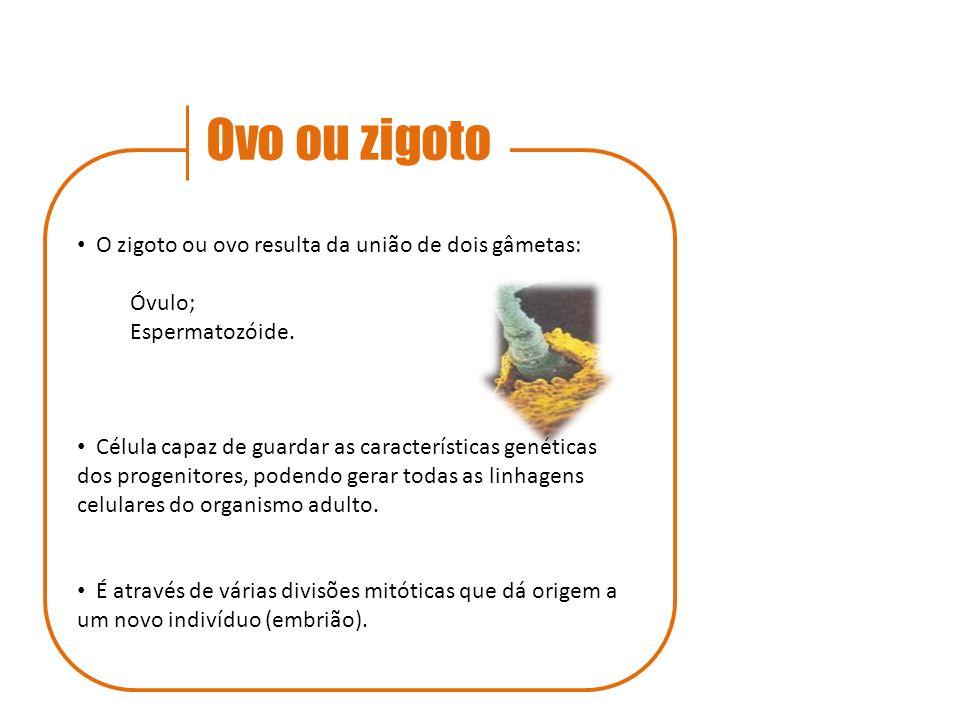 Ovo ou zigoto O zigoto ou ovo resulta da união de dois gâmetas: Óvulo; Espermatozóide. Célula capaz de guardar as características genéticas dos progen