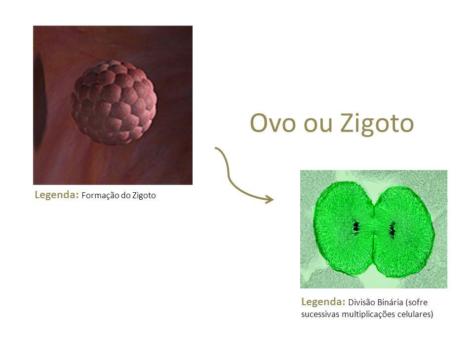 Ovo ou Zigoto Legenda: Formação do Zigoto Legenda: Divisão Binária (sofre sucessivas multiplicações celulares)