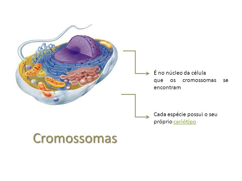 Cromossomas É no núcleo da célula que os cromossomas se encontram Cada espécie possui o seu próprio cariótipo