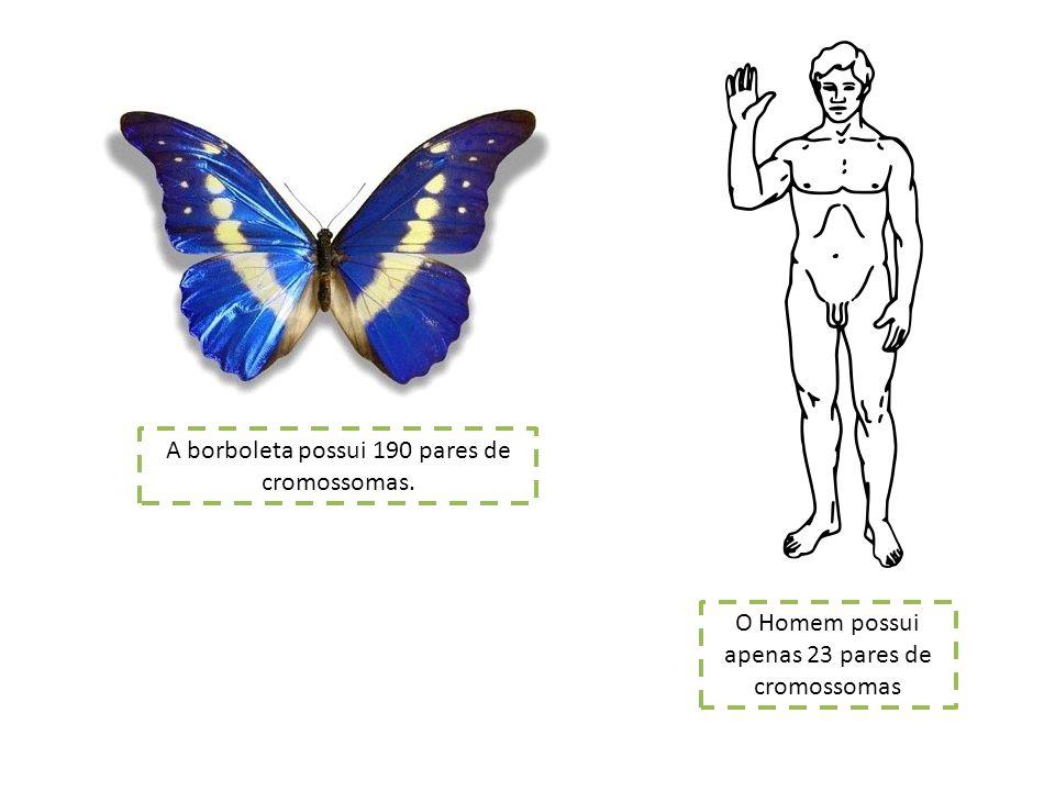 A borboleta possui 190 pares de cromossomas. O Homem possui apenas 23 pares de cromossomas