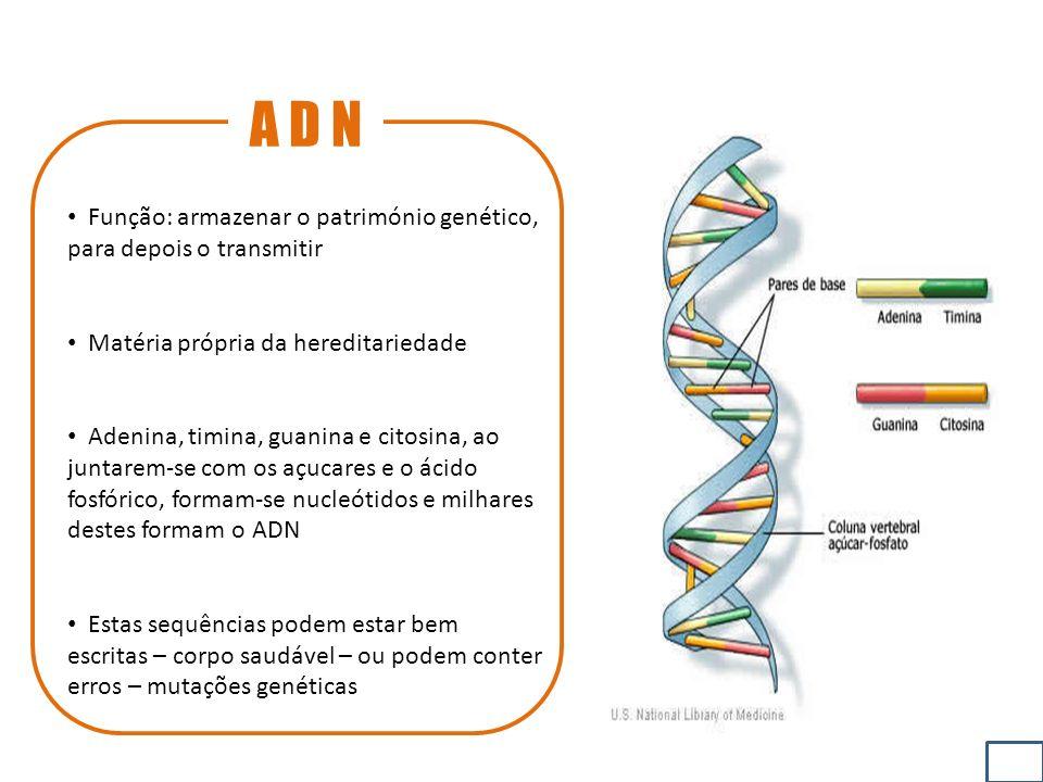 A D N Função: armazenar o património genético, para depois o transmitir Matéria própria da hereditariedade Adenina, timina, guanina e citosina, ao juntarem-se com os açucares e o ácido fosfórico, formam-se nucleótidos e milhares destes formam o ADN Estas sequências podem estar bem escritas – corpo saudável – ou podem conter erros – mutações genéticas