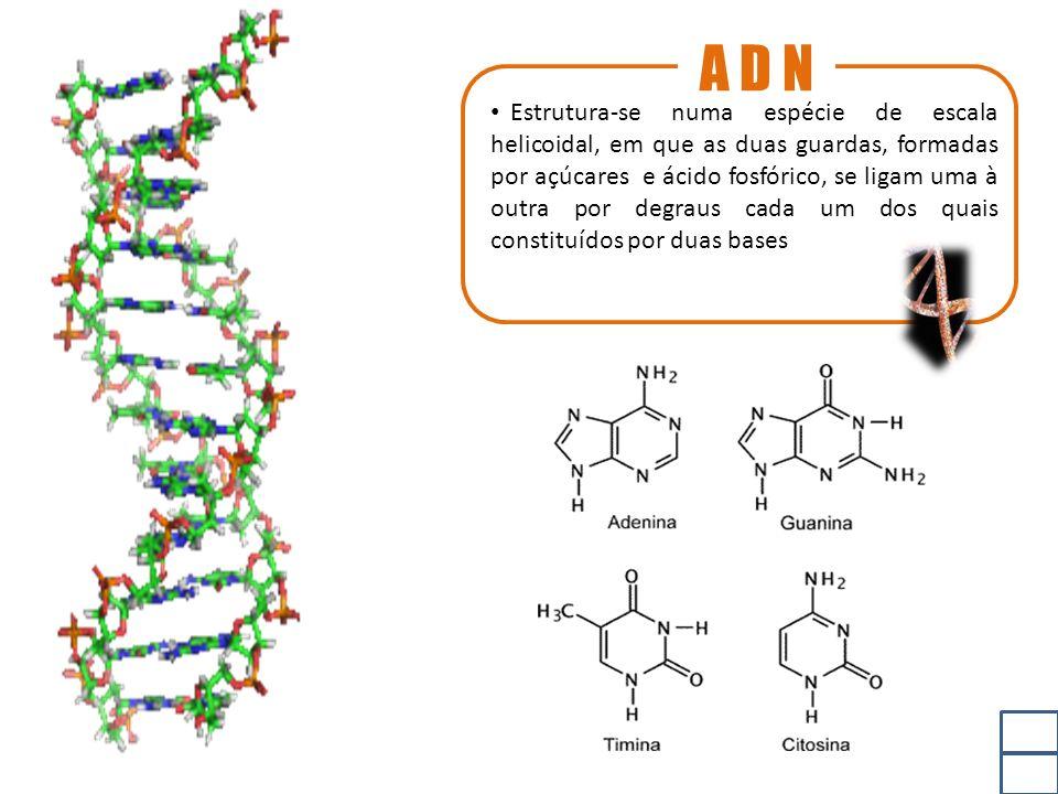 A D N Estrutura-se numa espécie de escala helicoidal, em que as duas guardas, formadas por açúcares e ácido fosfórico, se ligam uma à outra por degraus cada um dos quais constituídos por duas bases
