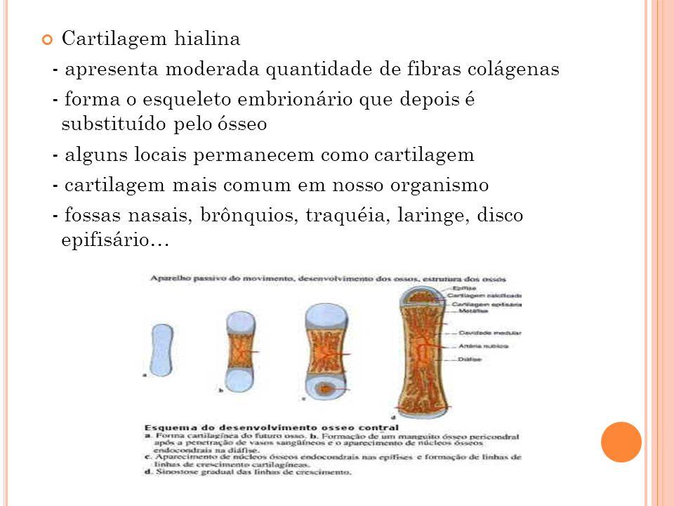 Cartilagem hialina - apresenta moderada quantidade de fibras colágenas - forma o esqueleto embrionário que depois é substituído pelo ósseo - alguns lo