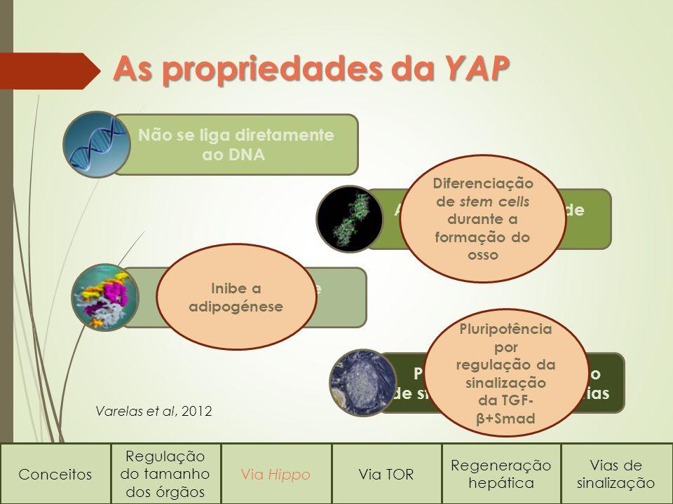 Conceitos Regulação do tamanho dos órgãos Via HippoVia TOR Regeneração hepática Vias de sinalização As propriedades da YAP Não se liga diretamente ao DNA Associação ao fator de transcrição Runx Liga-se ao fator de transcrição PPARγ Participa na regulação de stem cells embrionárias Diferenciação de stem cells durante a formação do osso Pluripotência por regulação da sinalização da TGF- β+Smad Inibe a adipogénese Varelas et al, 2012