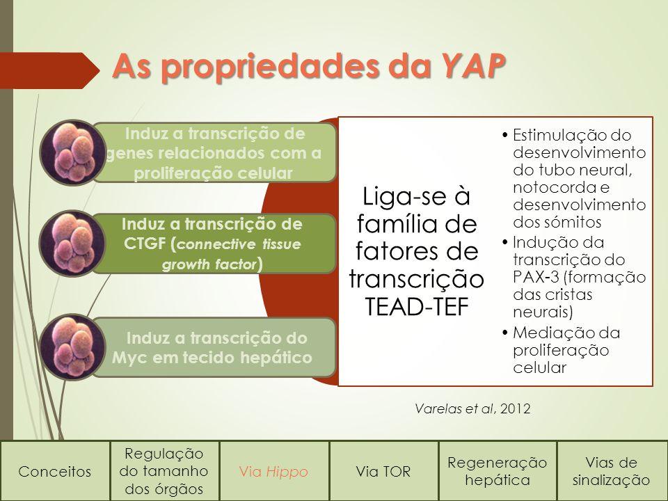 As propriedades da YAP Conceitos Regulação do tamanho dos órgãos Via HippoVia TOR Regeneração hepática Vias de sinalização Liga-se à família de fatore