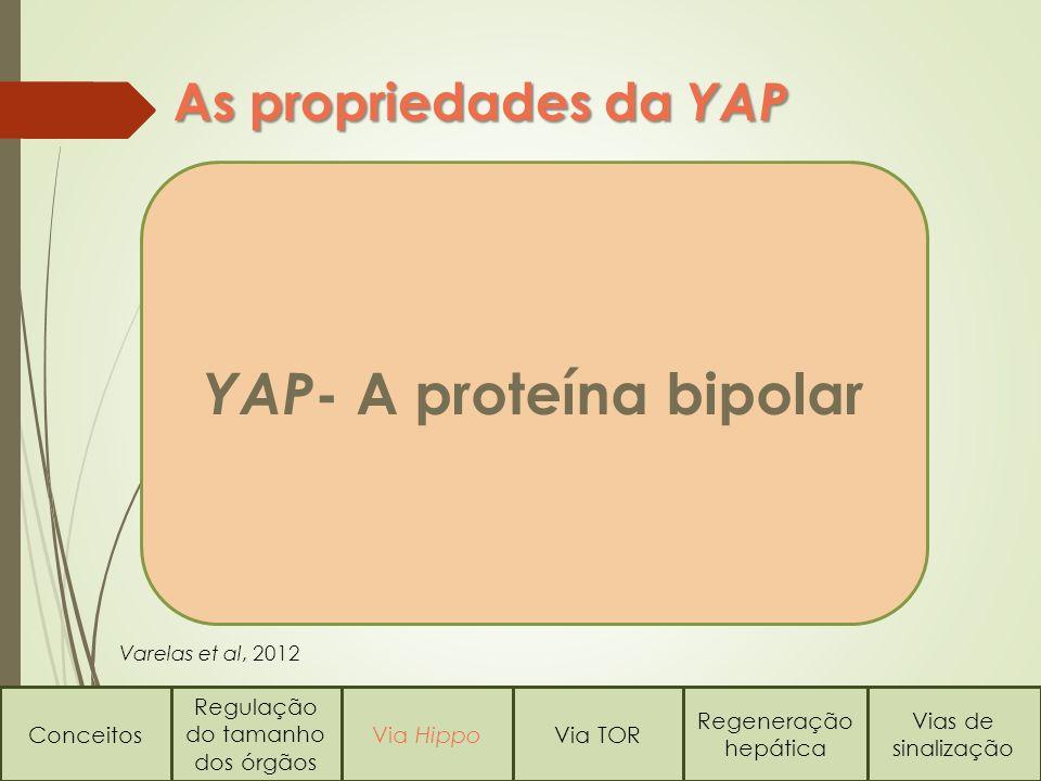 As propriedades da YAP Conceitos Regulação do tamanho dos órgãos Via HippoVia TOR Regeneração hepática Vias de sinalização Protege a p73 de ubiquitinação Associação da YAP a sinais pró-apoptóticos YAP - A proteína bipolar Varelas et al, 2012