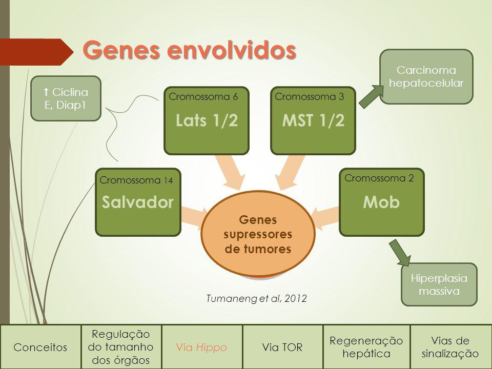 Carcinoma hepatocelular Hiperplasia massiva Conceitos Regulação do tamanho dos órgãos Via HippoVia TOR Regeneração hepática Vias de sinalização Genes envolvidos Hippo Salvador Lats 1/2MST 1/2 Mob Cromossoma 14 Cromossoma 2 Cromossoma 3Cromossoma 6 Genes supressores de tumores Ciclina E, Diap1 Tumaneng et al, 2012