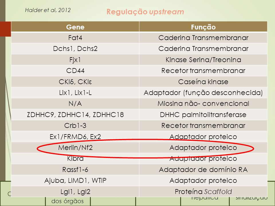 Conceitos Regulação do tamanho dos órgãos Via HippoVia TOR Regeneração hepática Vias de sinalização Como é regulada a Via Hippo ? Regulação upstream G