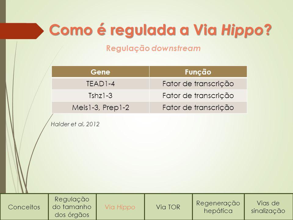 Como é regulada a Via Hippo ? Regulação downstream Conceitos Regulação do tamanho dos órgãos Via HippoVia TOR Regeneração hepática Vias de sinalização