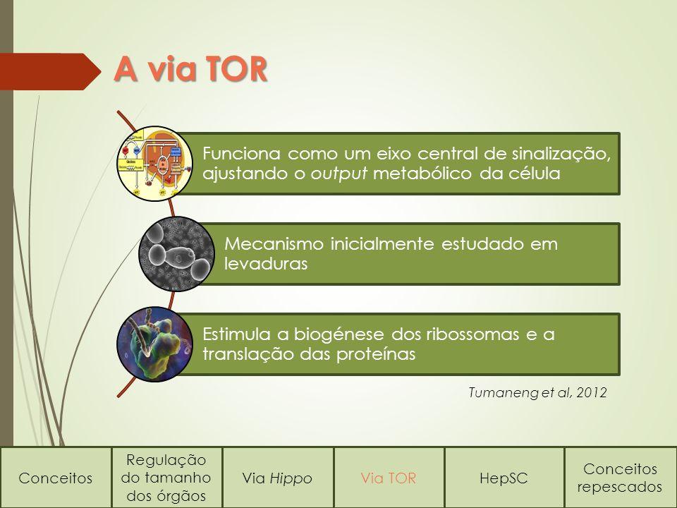 A via TOR Conceitos Regulação do tamanho dos órgãos Via HippoVia TORHepSC Conceitos repescados Funciona como um eixo central de sinalização, ajustando o output metabólico da célula Mecanismo inicialmente estudado em levaduras Estimula a biogénese dos ribossomas e a translação das proteínas Tumaneng et al, 2012