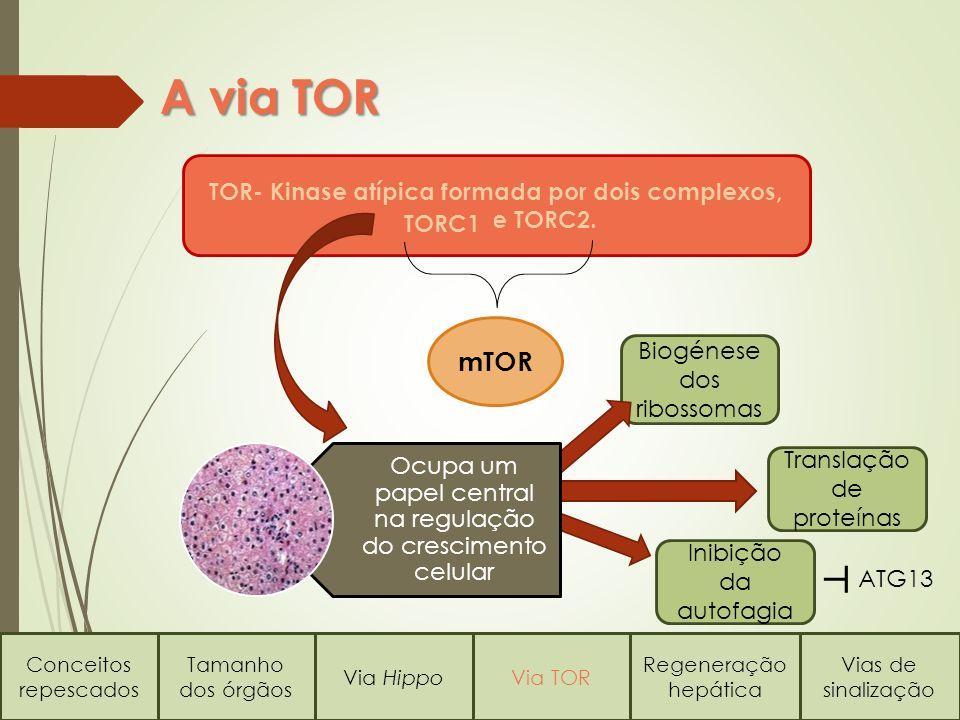 Biogénese dos ribossomas A via TOR Conceitos repescados Tamanho dos órgãos Via HippoVia TOR Regeneração hepática Vias de sinalização TOR- Kinase atípica formada por dois complexos, e TORC2.