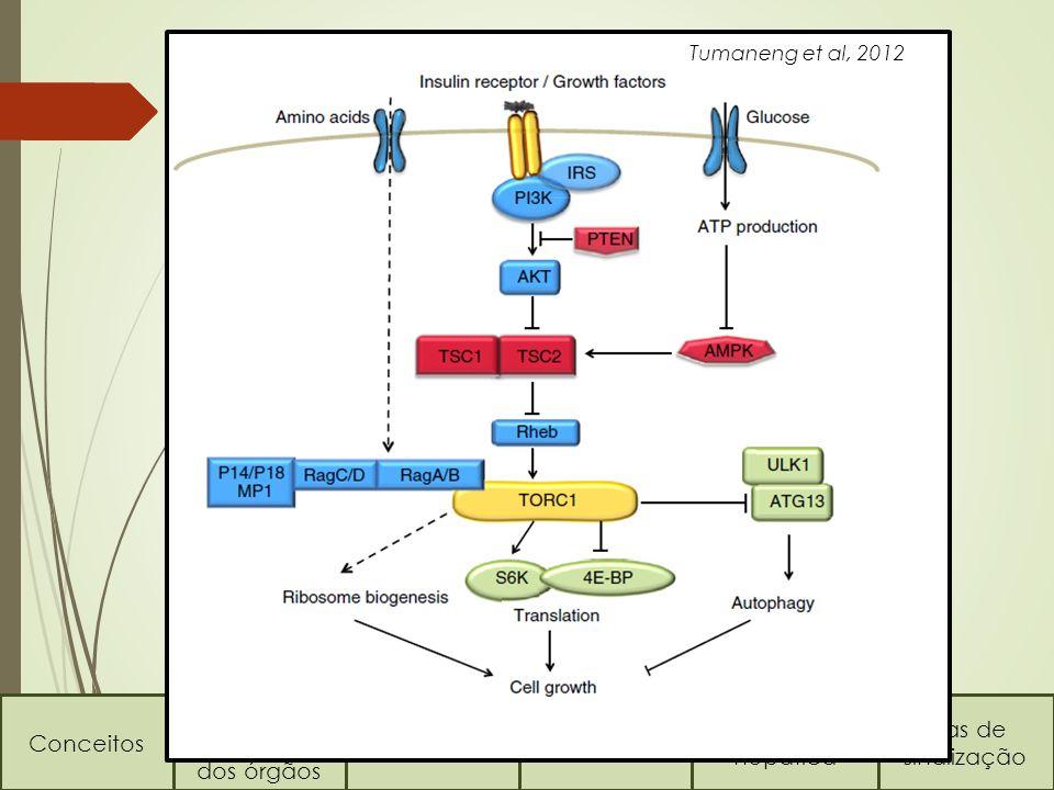 A via TOR Conceitos Regulação do tamanho dos órgãos Via HippoVia TOR Regeneração hepática Vias de sinalização Tumaneng et al, 2012