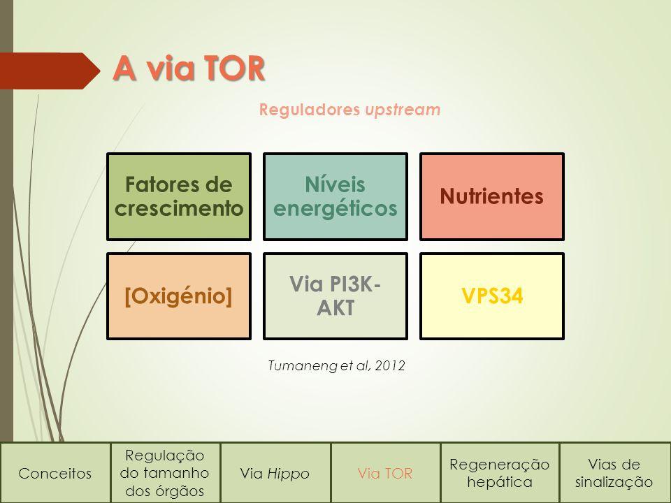 A via TOR Conceitos Regulação do tamanho dos órgãos Via HippoVia TOR Regeneração hepática Vias de sinalização Reguladores upstream Fatores de cresciment o Níveis energéticos Nutrientes [Oxigénio] Via PI3K- AKT VPS34 Tumaneng et al, 2012