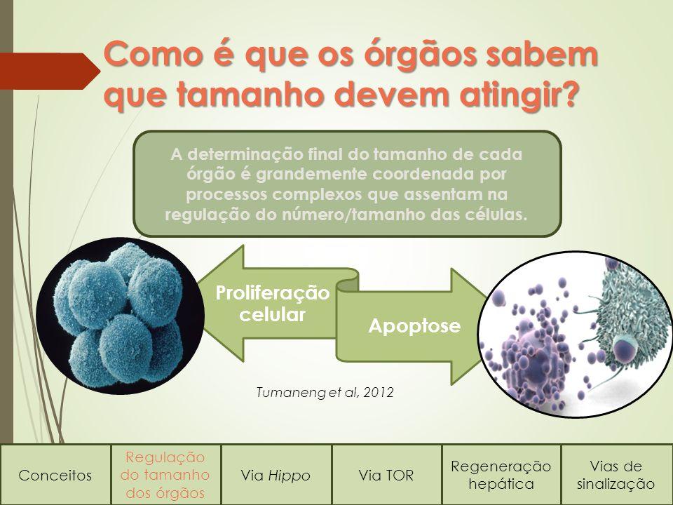 Como é que os órgãos sabem que tamanho devem atingir? Conceitos Regulação do tamanho dos órgãos Via HippoVia TOR Regeneração hepática Vias de sinaliza